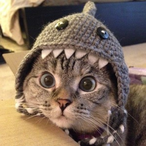 Nala the Cat in her Shark Hat
