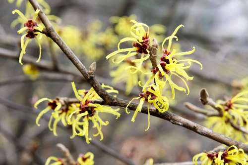 Save Money with These 39 Unusual Uses for Witch Hazel