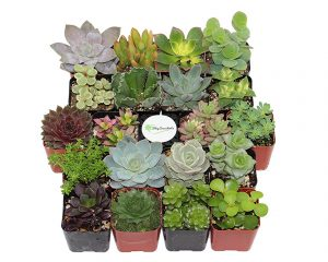20 Unique Succulents Only $31!