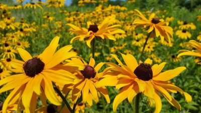 black-eyed-susan-856460_1920